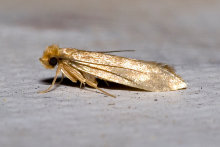 A mature clothes moth