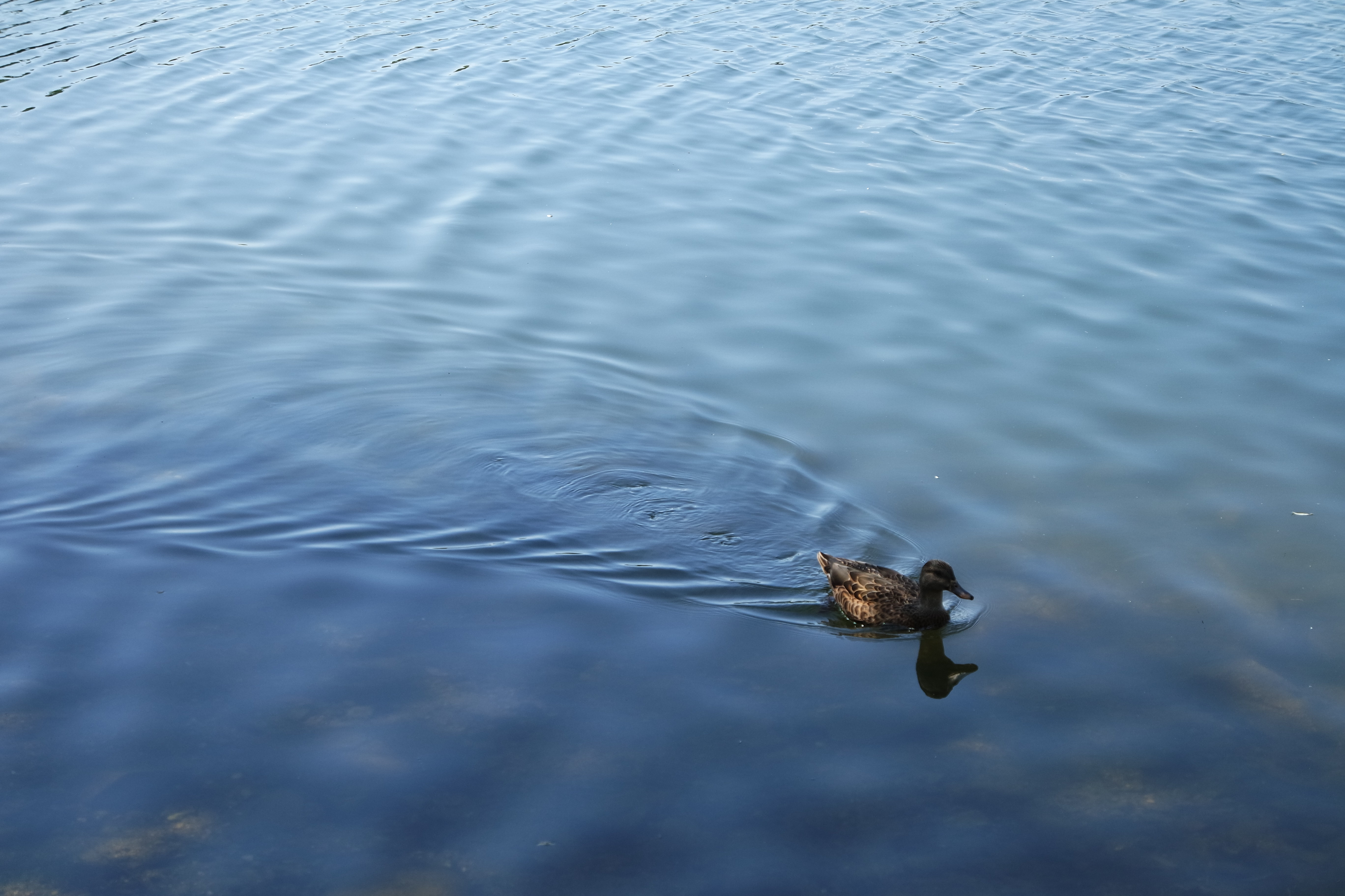A sample photo of a duck shot by the Samsung NX3000.