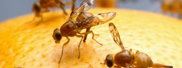 Fruit fly hero
